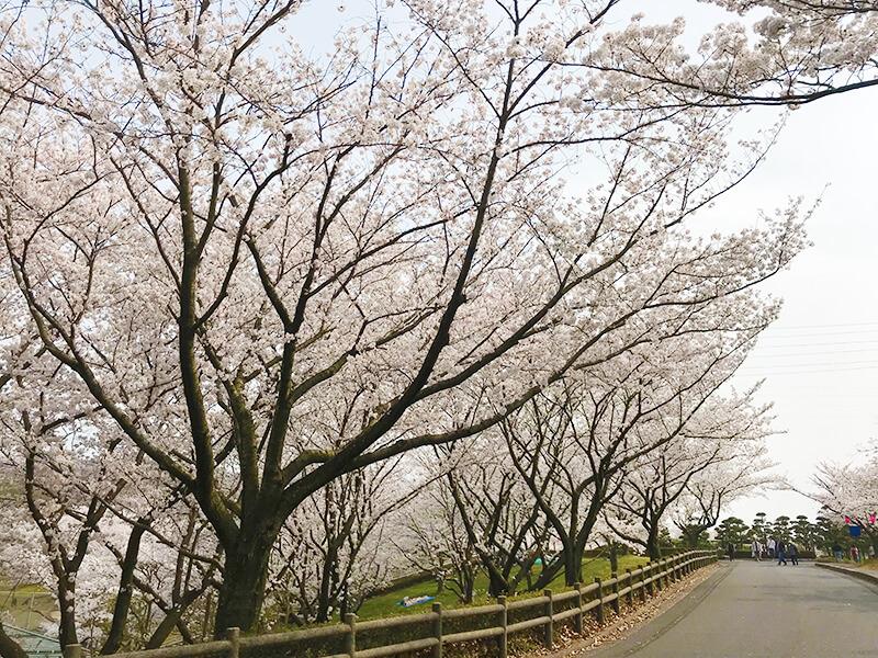 因幡千本桜道中