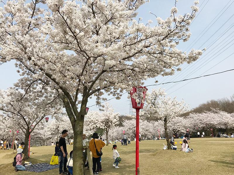 因幡千本桜頂上の芝生