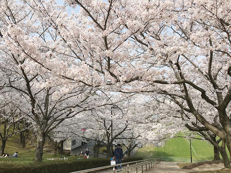 因幡千本桜階段の上から