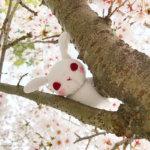 因幡千本桜木に挟まる葵ちゃん
